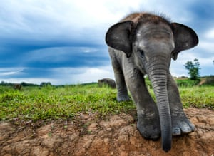 A young Sumatran elephant in Way Kambas national park, Sumatra. The Sumatran elephant is one of three subspecies of Asian elephant and is critically endangered.