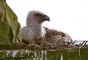 A pair of male vultures at Tierpark Nordhorn Zoo in Germany