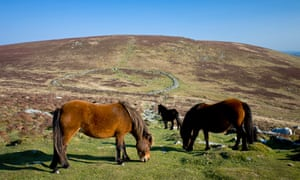 Dartmoor Ponies grazing by the remains of a stone circle
