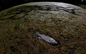 Commerce, Texas: A dead fish lies in a small pond after air temperatures reached a record-breaking 42C