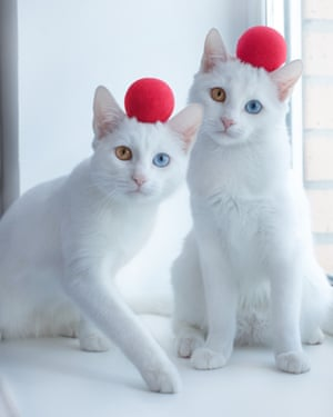 St Petersburg, RussiaTwins cats called Iriss and Abyss have a genetic condition called heterochromia, which produces a difference in the colour of their eyes owing to a lack of melanin. Their owner, Pavel Kasianov, has set up an Instagram page for the twins that has more than 70,000 followers