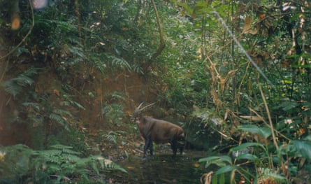 A wild saola photographed by camera trap in Laos in 1999.