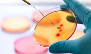 Scientist inoculating an agar plate with bacteria in microbiology lab