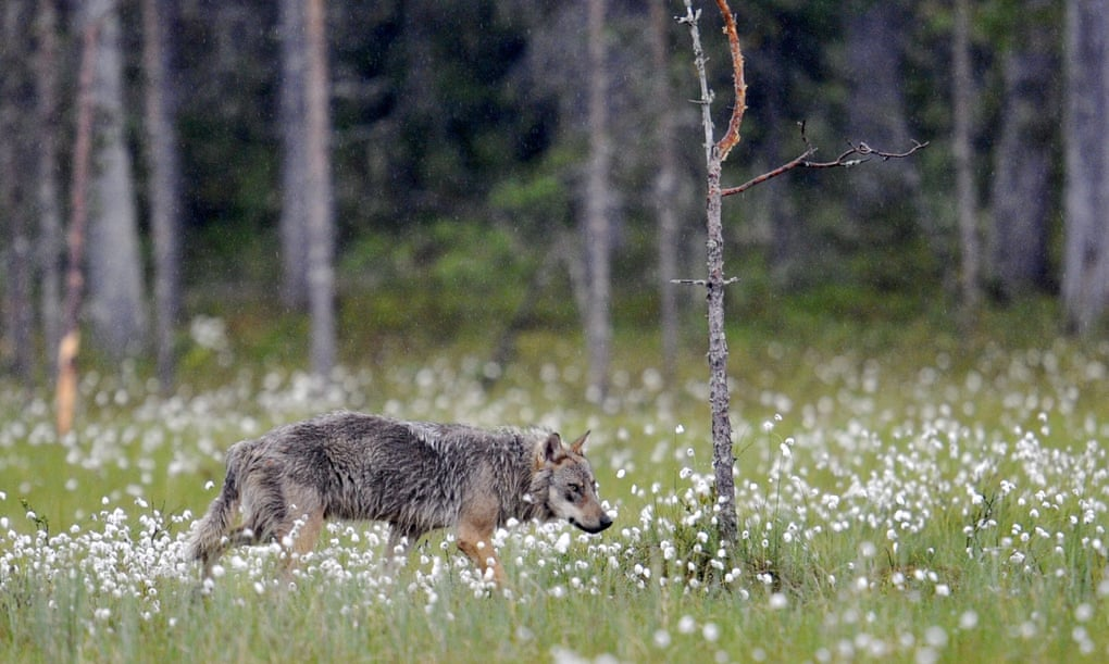 POLL: Should the slaughter of wolves in Finland be stopped?