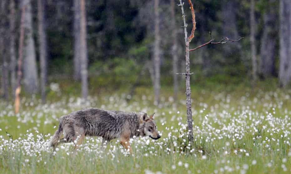 A wolf standing on the edge of a wood in Kuhmo, Finland
