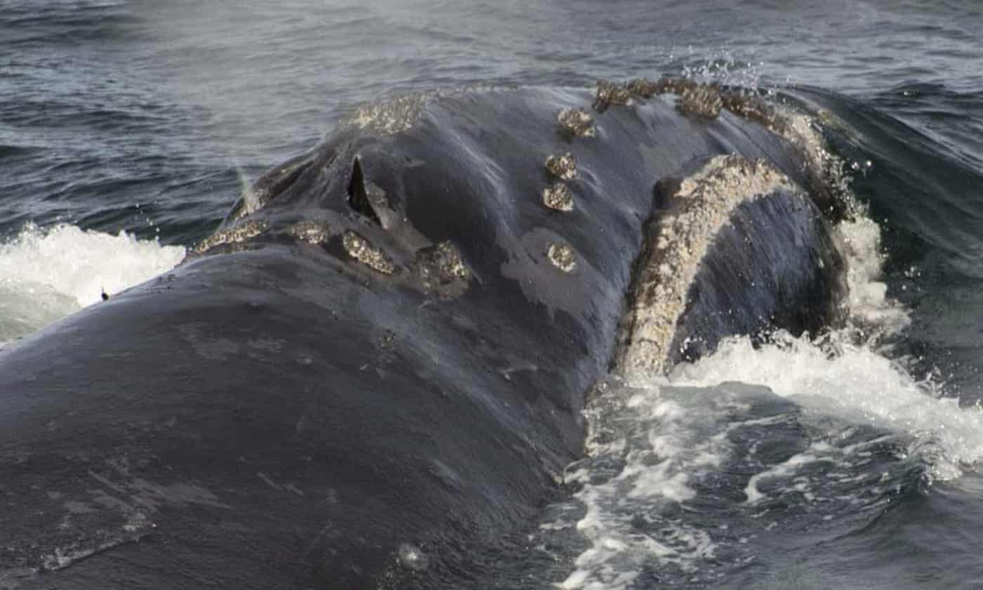 Song of one of rarest whales on planet recorded for first time