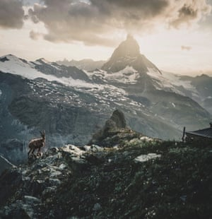 The view at sunset from Gornergrat to the Matterhorn in Zermatt with an ibex in front of the most famous mountain