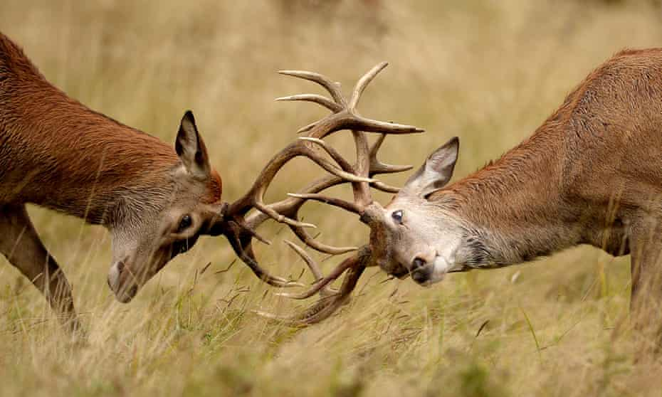 Two young Red deer stags practise their rutting in the long grass in Richmond Park, London