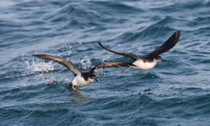 Numbers of Manx shearwaters are rising