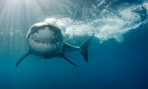 Great white shark face on