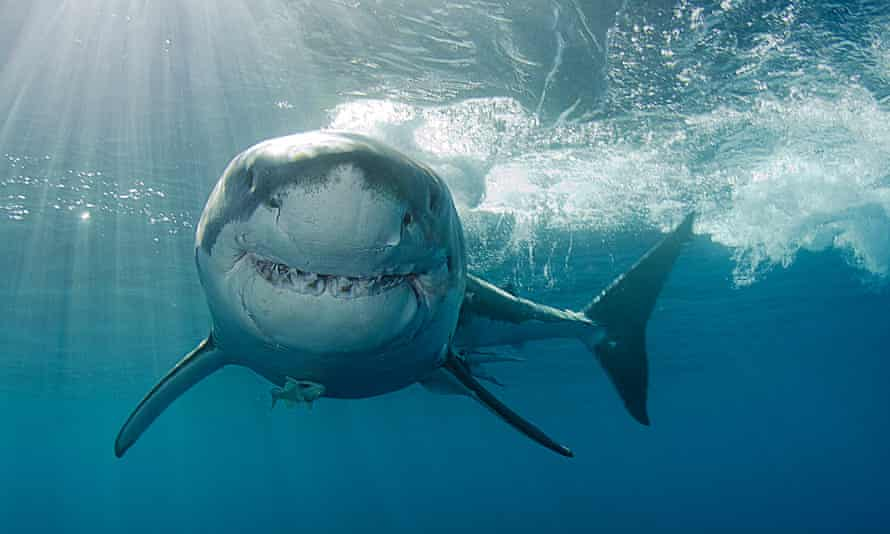 A great white shark in Isla Guadalupe, Mexico.