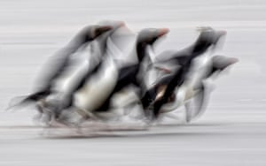Rockhopper penguins run to the safety of the water in the Falkland Islands when faced with a southern giant petrel