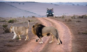 Lion-watching in the Western Cape of South Africa.