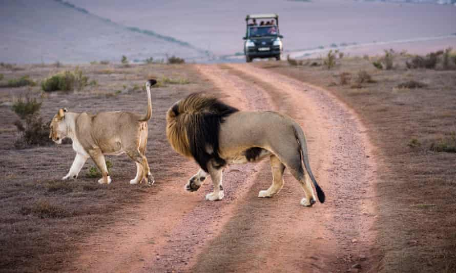 At least two rhino poachers were eaten by lions. Pictured, lions at a different reserve in the Western Cape, South Africa.