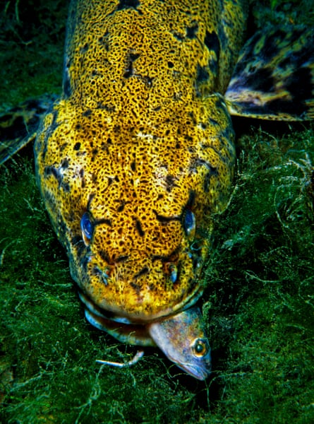 The burbot.