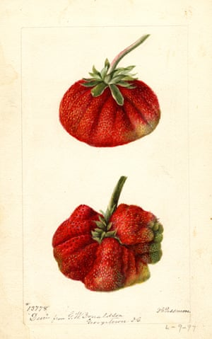 Watercolour of a strawberry from An Illustrated Catalogue of American Fruits and Nuts, published by Atelier Editions.
