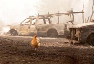 A chicken wanders through charred remains from the Beachie Creek fire in Lyons, Oregon