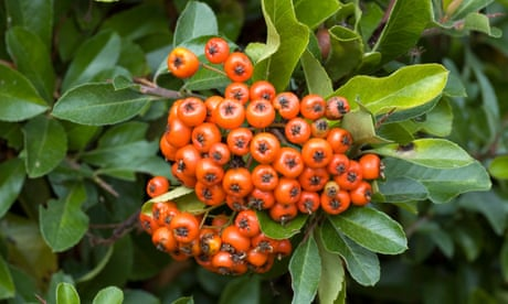 In praise of Pyracantha
