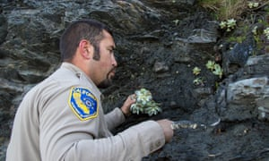 Will Castillo, a wildlife officer, replants dudleyas.