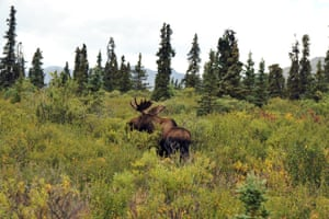One dead moose can provide a year's worth of meat.