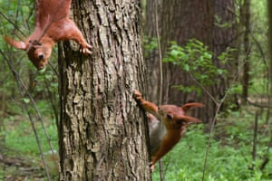 Squirrels climbing on a tree trunk in the Bilychi forest in Kyiv, the capital of Ukraine.