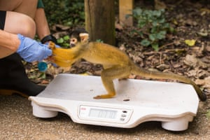 A Squirrel monkey is coaxed on to the weighing scales by being offered a nut
