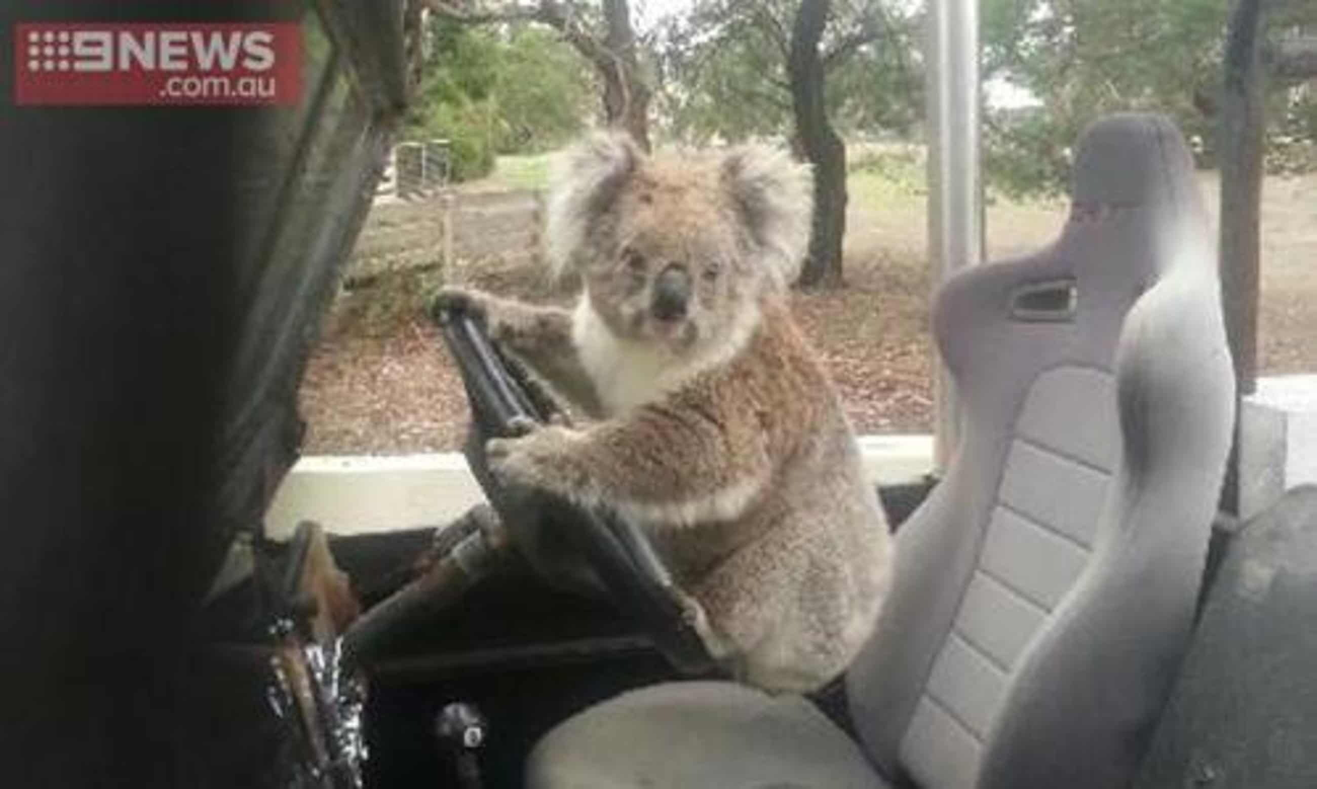 Schoolboy finds koala 'trying to drive' family car – in pictures