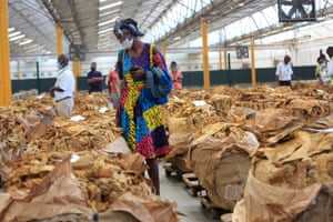 Harare, Zimbabwe. A farmer inspects tobacco leaves on the first day of the tobacco selling season. The season has begun under strict Covid-19 protocols, with only a few farmers allowed to participate. Tobacco is the country's biggest foreign currency earner