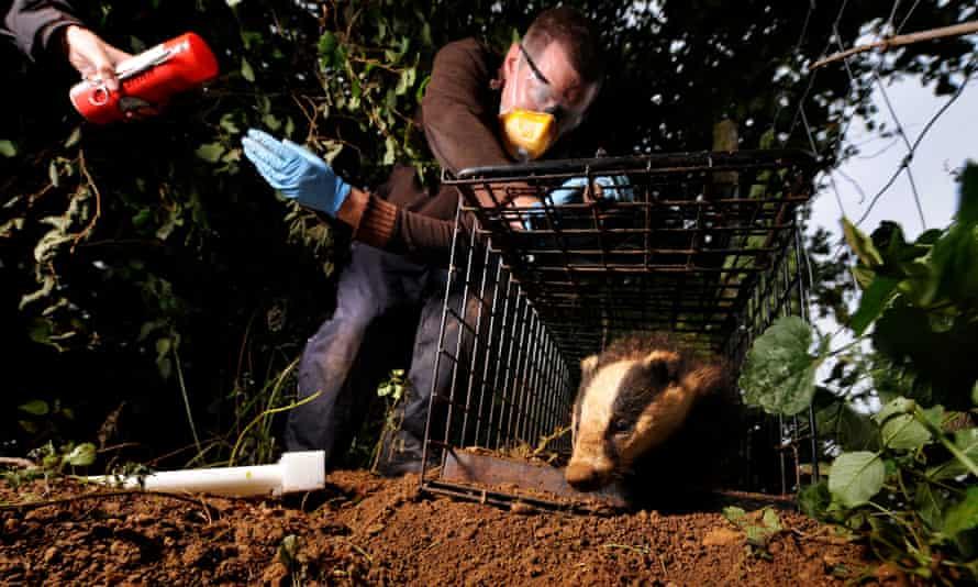 Badger TB vaccination