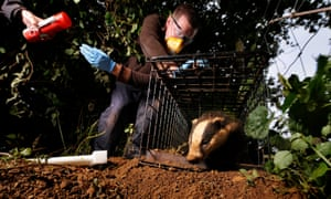 A vaccinated badger is released at Gloucestershire Wildlife Trust's Greystones Farm nature reserve near Bourton-on-the-Water.