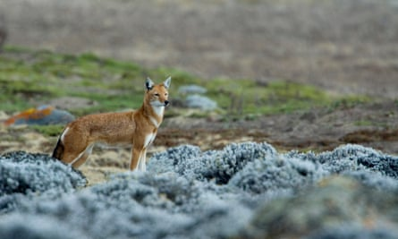 Christmas canine … a lone Ethiopian wolf in the Bale mountains.