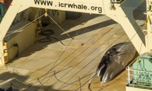 Stop the whaling: a handout photo made available by activist group Sea Shepherd allegedly showing a dead Antarctic mink whale onboard the Japanese vessel Nisshin Maru in Antarctic waters in the Australian Whale Sanctury, 15 January 2017.