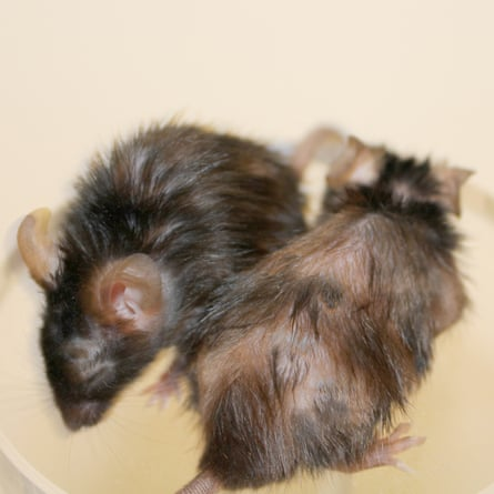This photograph shows two fast-ageing mice. The mouse on the left was treated with a FOXO4 peptide, which targets senescent cells and leads to hair regrowth in ten days. The mouse on the right was not treated with the peptide.