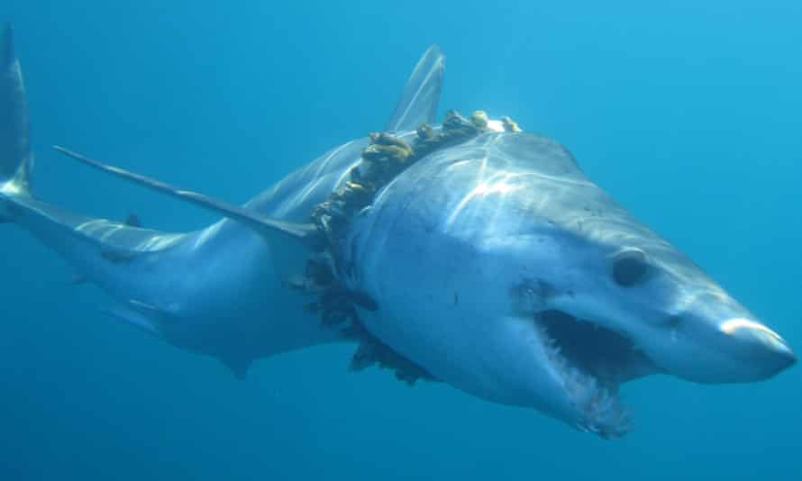 An adult shortfin mako shark entangled in fishing rope