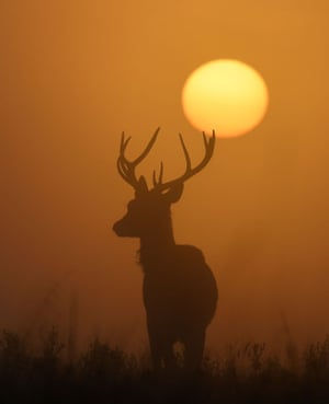 London, UK: A deer is seen with the sun rising behind at dawn in Richmond Park