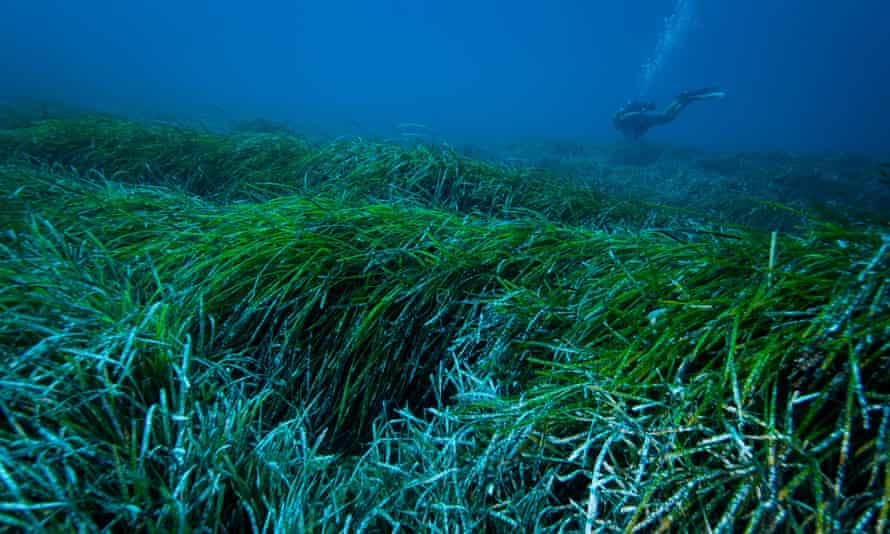 An underwater view of a Posidonia oceanica seagrass meadow in the Mediterranean sea that may help catch plastic pollution in the water.