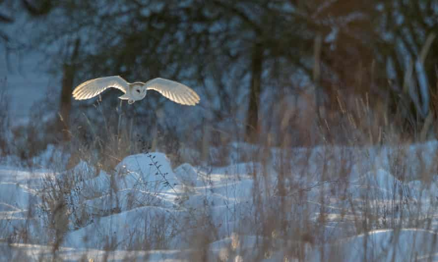 A barn owl in Reepham, Norfolk on 11 February 2021.