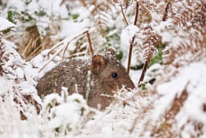 Long nosed potoroo, in the snow at Aussie Ark. The Long nosed potoroo is listed as vulnerable in NSW and in the Commonwealth.