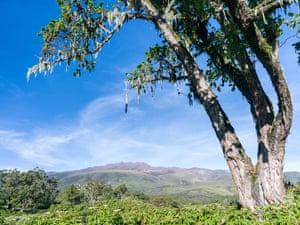 Rosewood tree in northeast Mount Kenya National Park in the highlands of central Kenya, Africa.