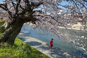 Springtime cherry blossom along the river banks in Kyoto, Japan.