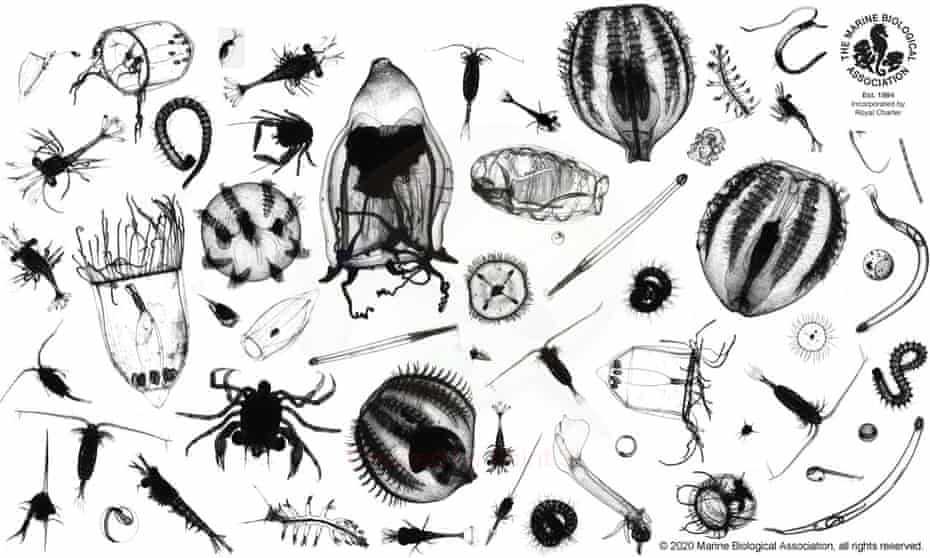 Microscopic plankton