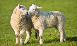 "Spring lambs ""kissing"" on a farm near Frosterley in Weardale, County Durham"