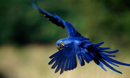 No Pantanal, há várias espécies em extinção, incluindo a arara-azul-grande.