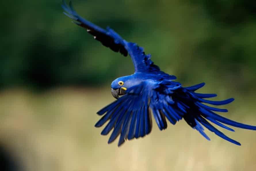 Pantanal, Brazil. A hyacinth macaw in flight.