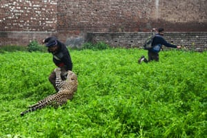 A leopard attacks a man as another one runs away from the animal in the Lamba Pind area of Jalandhar, northern India