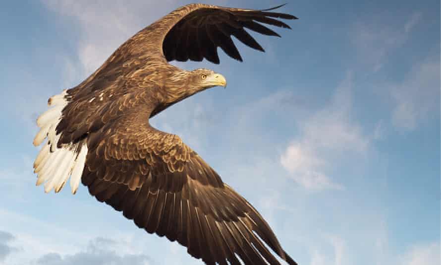 White tailed sea eagle in flight off west coast of Scotland.