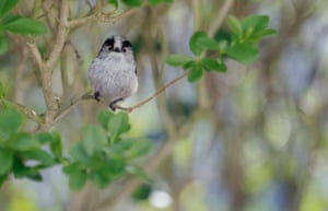 An adult long-tailed tit sits in a hedge in my front garden during late March