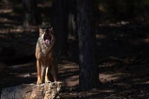 A wolf yawns at the Iberian wolf centre in the Sierra de la Culebra, Spain.
