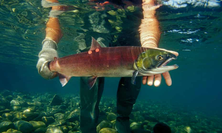 Sockeye or red Salmon in Horsefly River, British Columbia.