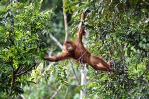 Sumatran orangutan in tree